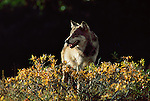 Portrait of a wolf standing in brush in Denali National Park.