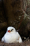 Red-tailed Tropicbird (Phaethon rubricauda) incubating egg on nest, Midway Atoll, Hawaiian Leeward Islands, Hawaii