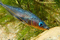 1S31-508z  Male Threespine Stickleback, Mating colors showing bright red belly and blue eyes, carrying nest material in his mouth, Gasterosteus aculeatus,  Hotel Lake British Columbia..