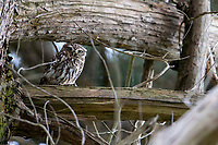 Little Owl (Athene noctua) in a tree in Queens Park, Invercargill, Southland, New Zealand.