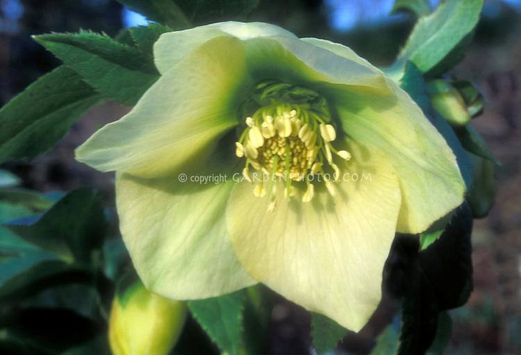 Helleborus Spring Promise Sally or virtually identical, yellow flowered hellebore
