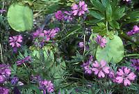 Helleborus vesicarius seed pods with Geranium tuberosum flowers