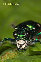 1C35-533z   Six-spotted Green Tiger Beetle - Cirindela sexguttata - close-up of head and jaws, eyes