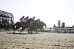 18 October 2009: Horses spring from the starting gate during one of Sunday's races at Keeneland. The thoroughbred athletes can accelerate from a standstill to nearly 30 miles per hour in a matter of strides.