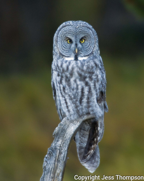 Great Gray Owl, Yellowstone National Park