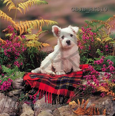 Kim, ANIMALS, dogs, photos(GBJBAK319,#A#) Hunde, perros ,puzzles