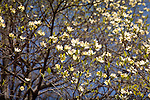 Dogwoods in bloom at the Arnold Arboretum, part of Boston's Emerald Necklace in the Jamaica Plain neighborhood of Boston, MA, USA