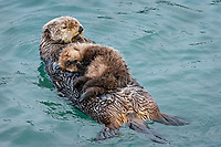Sea Otter (Enhydra lutris) mom with young pup resting in sheltered bay on Prince William Sound, Alaska.  Spring.