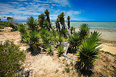 Yuccas bordants le littoral de l'îlot Signal (réserve spéciale marine), Nouméa, Nouvelle-Calédonie