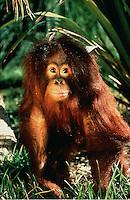 Portrait of an orang-utan (Pongo pygmaeus).