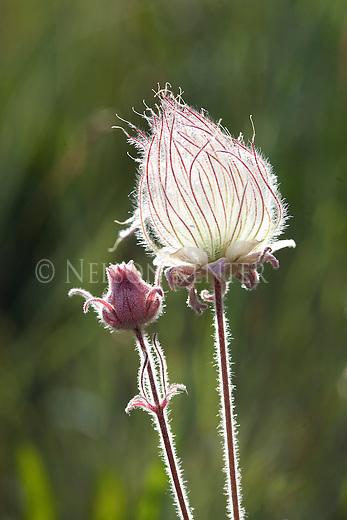Seed plume and flower head of the Prairie Smoke wildflower in western Montana