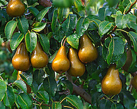 Bosc pears ready for harvest in Hood River Valley Oregon