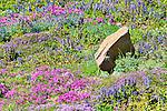 Alpine Wildflowers.  Ohme Gardens, Wenatchee, Chelan County, Washington, USA.