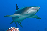 Reef white tip shark.Triaenodon obesus. Palau, Micronesia