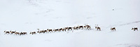 Panorama of a herd of caribou migrtating through the snowy tundra in Atigun Canyon, Brooks Range, Arctic, Alaska.