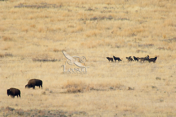 Pack of wild wolves howl while checking out bison in Yellowstone's Lamar Valley.  Fall.