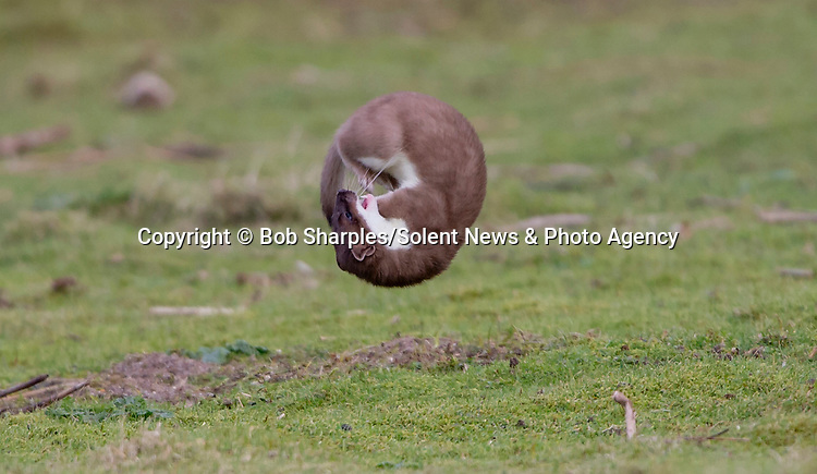 Pictured:  The stoat somersaults through the air<br /> <br /> Stoat-ally mad - an acrobatic stoat somersaults through the air.  The excitable animal chased birds on the windless morning and later caught a rabbit.<br /> <br /> After making its catch, it dragged its prize to a nearby rabbit hole, away from other predators such as foxes and buzzards.  The pictures were taken at Marazion Marsh, Cornwall, by keen amateur photographer Bob Sharples.  SEE OUR COPY FOR DETAILS.<br /> <br /> Please byline: Bob Sharples/Solent News<br /> <br /> © Bob Sharples/Solent News & Photo Agency<br /> UK +44 (0) 2380 458800