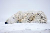 polar bear, Ursus maritimus, mother with cub sleeping on the pack ice, 1002 coastal plain, Arctic National Wildlife Refuge, Alaska, polar bear, Ursus maritimus