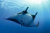 giant oceanic manta ray, Mobula birostris, formerly Manta birostris, San Benedicto, Revillagigedo (Socorro) Islands, Mexico, East Pacific Ocean