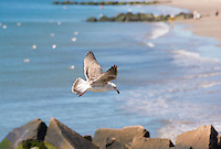 Seagull fly over shoreline in Coney Island