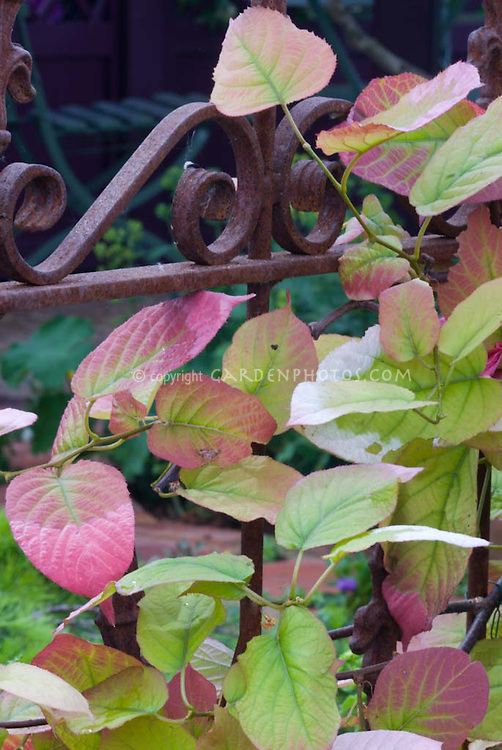 Variegated Kiwi Vine Actinidia kolomikta climbing on rusted iron fence