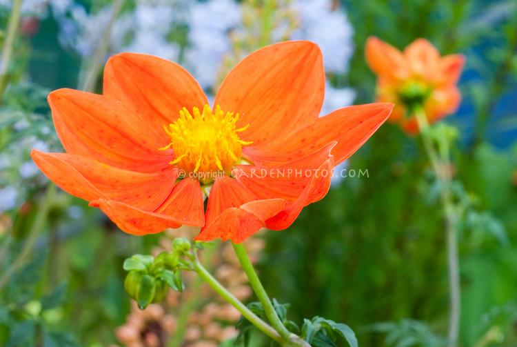 Scarlet flowered Dahlia, Dahlia coccinea var. palmeri in orange red firey color. species dahlia, single type.