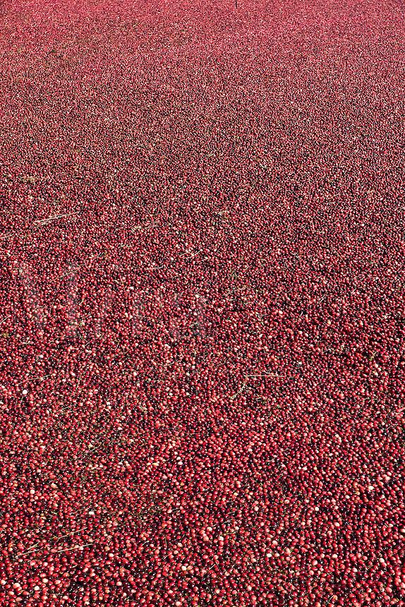 Cranberry harvest.