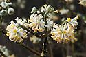 Yellow tubular flowers of the deciduous shrub Edgeworthia chrysantha, late February.