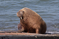 Pictured: Wally the walrus on the RNLI slipway in Tenby, Wales, UK.<br /> Re: An RNLI lifeboat volunteer had to use an air-horn to budge Wally the walrus off the station's slipway in Tenby, Wales, UK.<br /> The mammal was basking in the sun on Monday afternoon when Tenby RNLI lifeboat were called to respond to a potential emergency involving a canoe.<br /> Despite one crew member's best efforts with a brush, the sturdy sea creature was not moving.<br /> Wally has become a tourist attraction, having strayed unusually south to the Pembrokeshire coast last month.