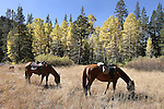 The horses take a break after the ride into Scotts Lake above Hope Valley, Ca. near South Lake Tahoe on Wednesday, Oct. 13, 2010. .Photo by Cathleen Allison
