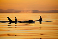 Killer Whales or Orca ( Orcinus orca) at sunset off southern Vancouver Island, British Columbia, Canada.