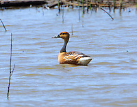 Adult fulvous whistling-duck