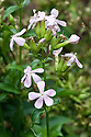 Saponaria officinalis, mid September. A wild flower common in  Europe. Common names include Common soapwort, Bouncing-bet, Crow soap, Wild sweet William, and Soapweed.