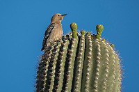 A female Gila Woodpecker, Melanerpes uropygialis, perches on a Saguaro cactus, Carnegiea gigantea, in Papago Park, part of the Phoenix Mountains Preserve near Phoenix, Arizona