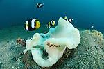 Saddleback anemonefish (Amphiprion polymnus) around a bleaching anemone with a Porcelain anemone crab (Neopetrolisthes maculatus)