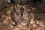 Mountain Lion (Puma concolor) kittens in den, Santa Cruz Puma Project, Santa Cruz Mountains, California