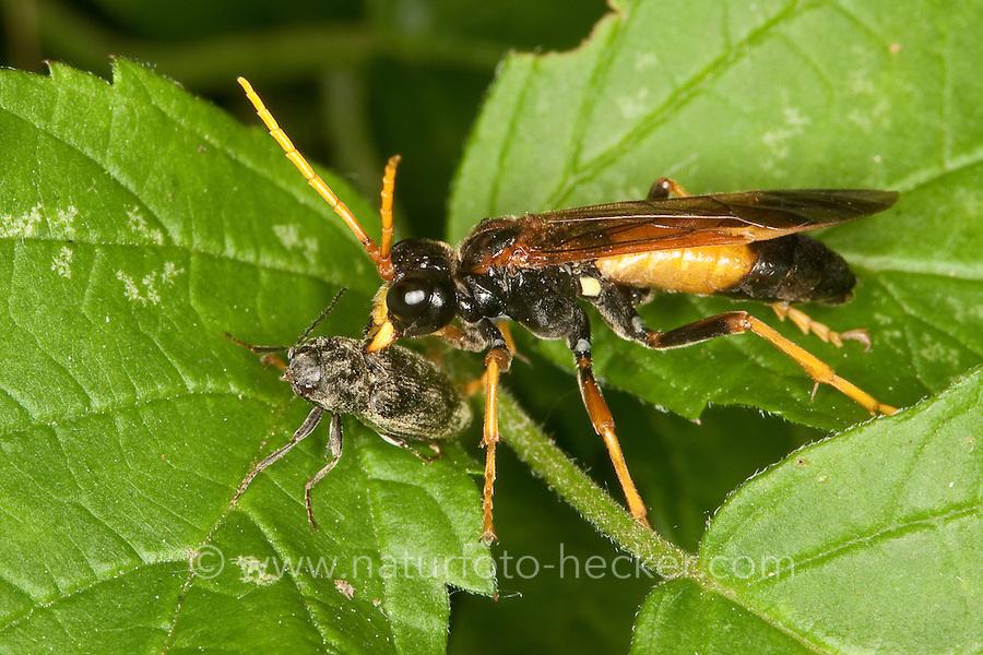 Feld-Blattwespe, Feldblattwespe, räuberische Blattwespe hat Insekt, kleinen Käfer erbeutet und frisst dieses, Tenthredo campestris, Field Sawfly