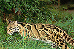 Clouded leopards continue to be killed for their beautiful fur, Southest Asia