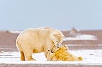 polar bear, Ursus maritimus, mother and cub playing, Barter Island, Arctic National Wildlife Refuge, Alaska, polar bear, Ursus maritimus