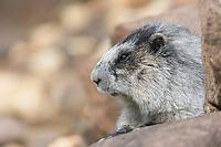 Hoary Marmot, Denali National Park, Alaska