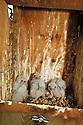 00698-004.10 American Kestrel (DIGITAL) Three downy young in nesting box.  Falcon, hawk, bird of prey, bird, birding.  V2E1