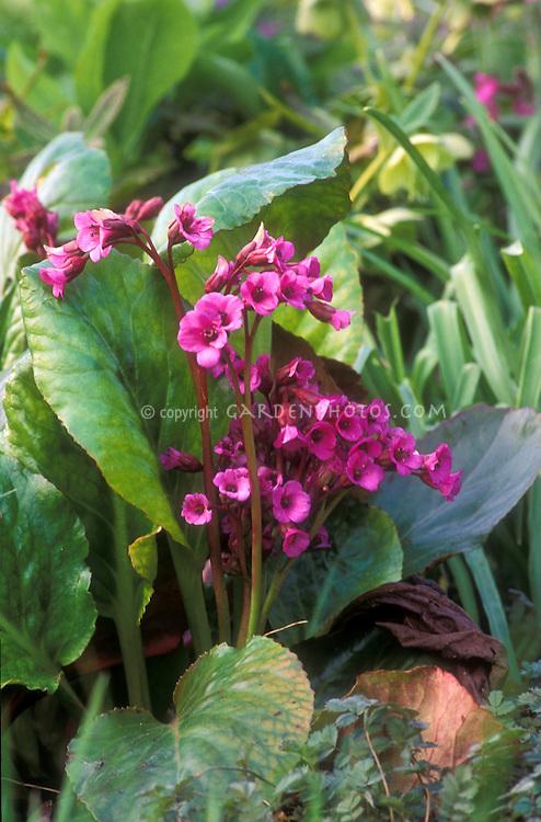Bergenia Eric Smith in flower