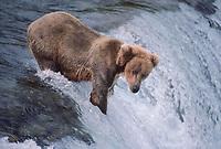 609682211 a wild adult brown bear ursus arctos stands at the falls waiting for jumping salmon near brooks lodge in katmai national park alaska