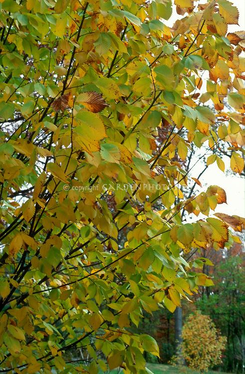 Ulmus americana 'Princeton' American Elm Tree in Autumn Fall Color
