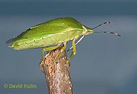 0827-07mm  Green Stink Bug - Acrosternum hilare - © David Kuhn/Dwight Kuhn Photography