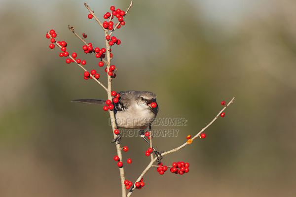 Northern Mockingbird (Mimus polyglottos), adult eating Possum Haw Holly (Ilex decidua) berries, Starr County, Rio Grande Valley, South Texas, USA