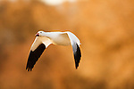 Snow Goose (Chen caerulescens) flying, Bosque del Apache National Wildlife Refuge, New Mexico