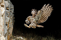 Little Owl (Athene noctua) flying with prey at night, Spain