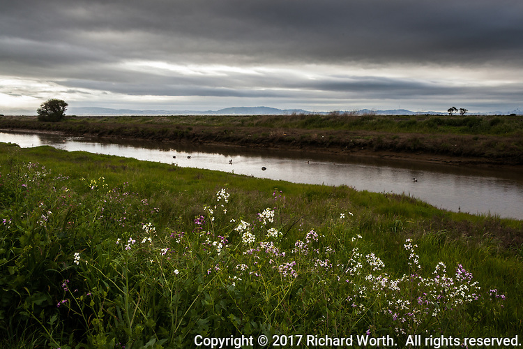Clouds, threatening rain,  and wild radish wildflowers.  An afternoon along San Lorenzo Creek Trail, East Bay Regional Park District.