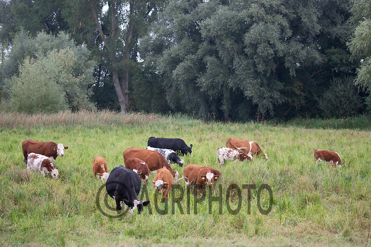 18-9-2021 Beef cattle grazing wetlands in Baston Fen, Lincolnshire  <br /> ©Tim Scrivener Photographer 07850 303986<br />      ....Covering Agriculture In The UK....